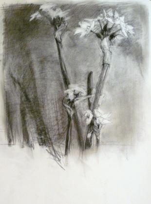 Narcissus II - charcoal