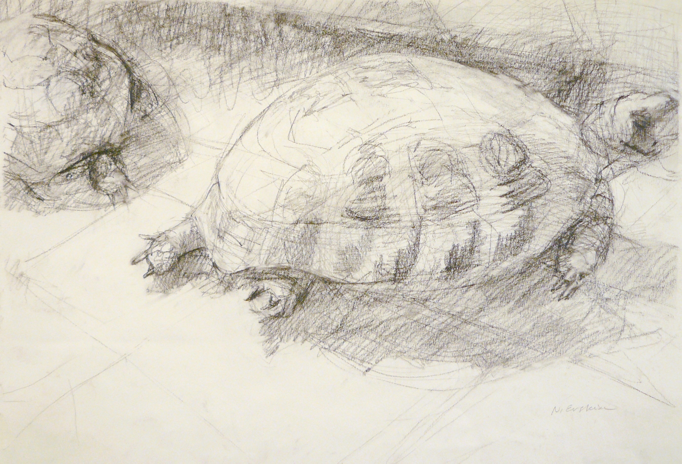 charcoal drawing of 2 turtles